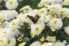 Amiral rouge sur le chrysanthème Image stock