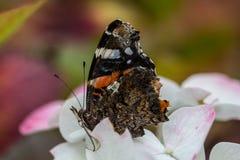 Amiral sur la fleur d'un hortensia Photos libres de droits