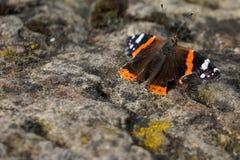 Amiralfjäril som sitter på den konkreta stenen arkivfoton