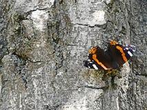 Amiralfjärilssammanträde på ett träd arkivfoton