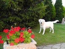 Amis blancs de Godg Labrador beaux Photographie stock