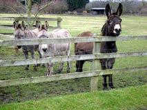 Amis d'âne Photos stock
