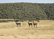 4 amis d'ânes Images stock