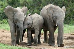 Amis d'éléphant africain Images stock