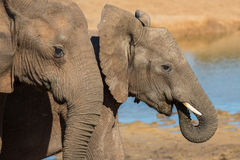 Amis d'éléphant africain Image stock