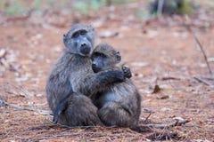 Amis de babouin Photographie stock libre de droits