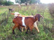 amis de chèvre Photos stock
