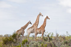Amis de giraffe Photos libres de droits
