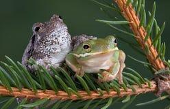 Amis de grenouille d'arbre Photographie stock libre de droits