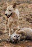 Amis de loup souriant et jouant Photo libre de droits