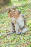 Amis de Macaque Long-Suivis beau par singe Photographie stock