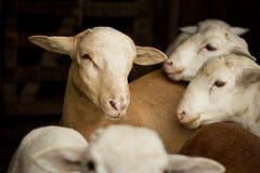 Amis de moutons Photographie stock