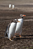 Amis de pingouin de Gentoo Image stock