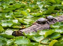 Amis de tortue prenant un bain de soleil ensemble Photographie stock libre de droits