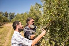 Amis examinant l'olive sur l'usine Photographie stock