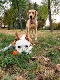 Amis heureux de crabot Photo stock