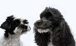 Amis noirs et blancs de chien Photos stock