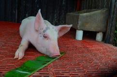 Amis, porcs mangeant des usines Image libre de droits