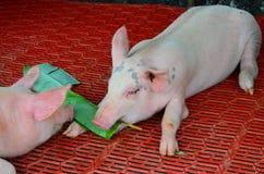 Amis, porcs mangeant des usines Photos libres de droits