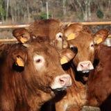 Amis trois veaux Headshot du Limousin Photos libres de droits