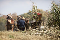 Amische Herbsternte Lizenzfreies Stockfoto