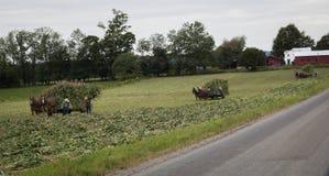 Amish bönder som skördar havreserier royaltyfri foto