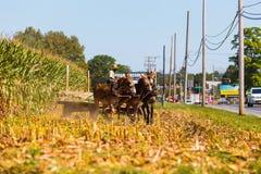 Amish bonde Using Mules Arkivfoton