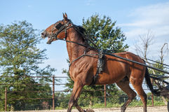 Amish buggy horse Stock Photography