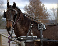 Amish buggy workhorse. An Amish work horse covered in sweat rests from a day of traveling while hitched to rail Stock Photo