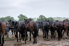 Amish buggy horses. Hitched to a metal barn yard fence Stock Photos