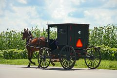 Amish carriage. By the corn field Stock Image