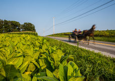 Amish carriage. Swiftly moving down rural country road in Pennsylvania with blur motion and tobacco field in foreground Stock Photo