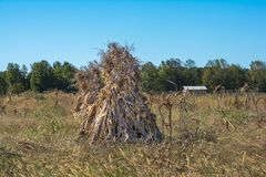 Amish Cornfield On A Clear Autumn Day. Corn Shocks in the early  fall.  This is a practice performed by the amish to dry field corn in the field Royalty Free Stock Images