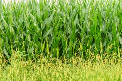 Amish country farm, corn wall, field agriculture in Lancaster, PA royalty free stock image