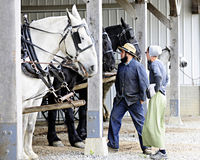 Amish Couple Checking Their Horses Royalty Free Stock Photography