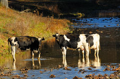 Amish Cows. A group of 3 Amish cows in a stream, which I shot this in Northeast Ohio in the Amish area Royalty Free Stock Image