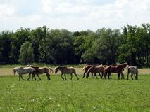Amish work horses relax in the field stock images