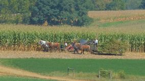 Amish Family Farm Harvesting it`s Corn Crop