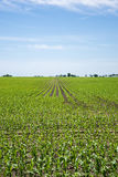 Amish farm and corn field. Scenic of a Amish farm and corn field Stock Image