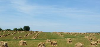 Iowa Amish farm oat shocks in the Summer. Oat shocks lined up in an Amish farm field in the Iowa countryside on a beautiful sunny summer day Royalty Free Stock Photo