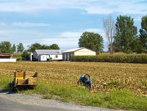 Amish Farmer harvesting corn Royalty Free Stock Image