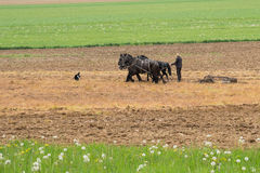 Amish farmer with horses Stock Images