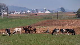 Amish Farmer Working and Cows stock images