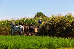 Amish Farmers Harvesting Corn Crop Royalty Free Stock Images