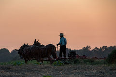 Amish while farming with horses at sunset Royalty Free Stock Photos