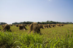 Amish Grown Wheat Stacks Royalty Free Stock Images