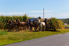 Amish Harvesting Corn. Witmer, PA - September 12, 2016: Amish farmers pick, cut, and harvest corn with teams of mules in Lancaster County stock photo