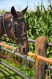 Amish horse Royalty Free Stock Photography