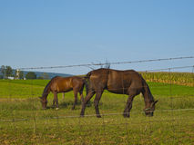 Amish Horses Stock Images