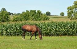 Amish koń Obraz Royalty Free